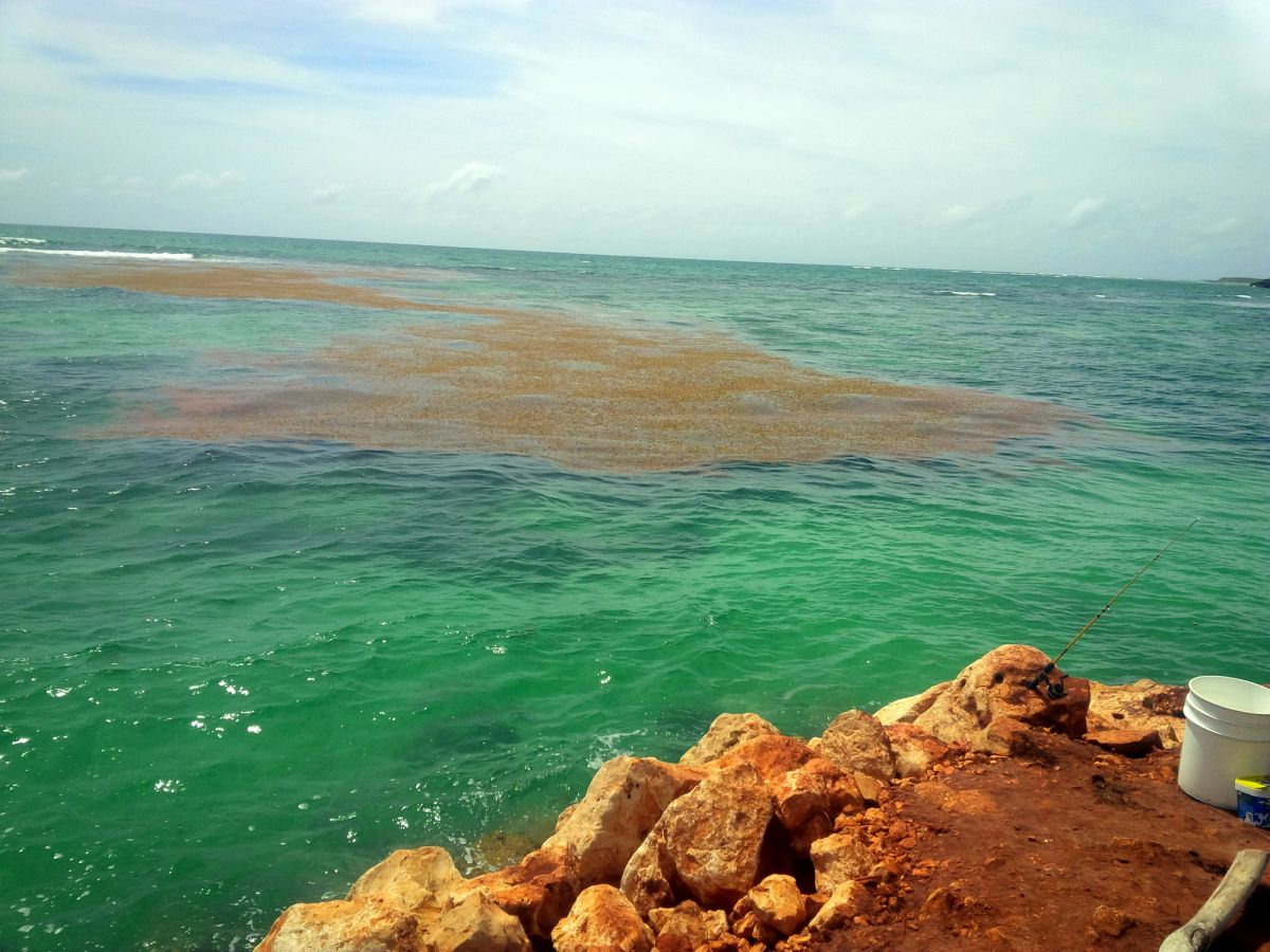 Sargassum coming in